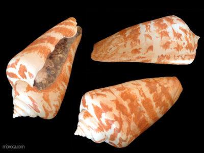 un coquillage coniquevu sous trois positions.