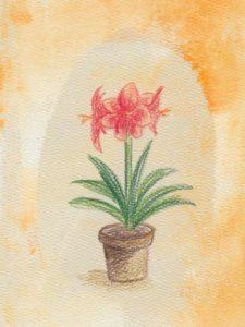 Un amarylis rouge dans un pot