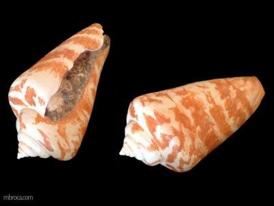 Céramique d'un coquillage conique vu sous deux positions.