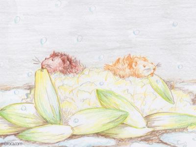 Deux cobayes dans un nid de coton en train de manger des endives